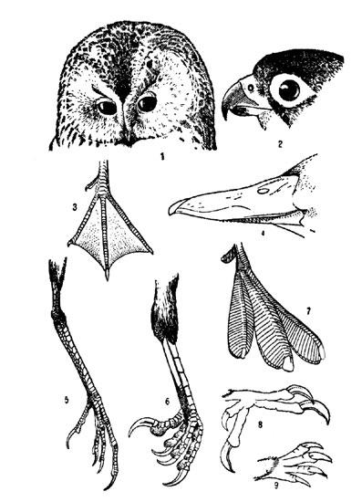 смотрите а также измайлово птицы и животное, птица на i. развитие зародыша в яйце птицы.